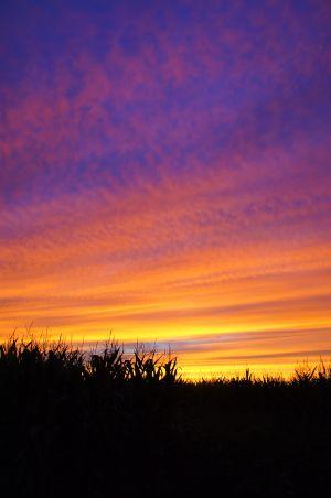 Sunset Cornfield