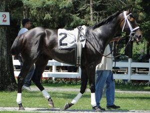 Dark Bay Racehorse