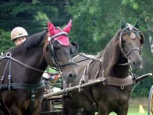 Two Morgans in Harness